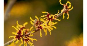 Hamamelis 'Orange Beauty'. Photograph: Richard Johnston