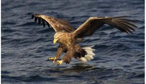 Two more white-tailed sea eagle, introduced to the Killarney National Park from Norway as part of the raptor re-introduction programme over the past five years, have been found dead.