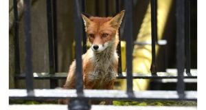 Police in Britain are investigating a fox attack on a one-month-old baby boy which left his hand seriously injured.