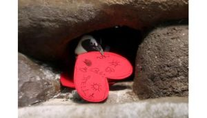 An African Penguin pulls a Valentine's Day card into its nest box at the California Academy of Sciences in San Francisco, California.  The colony received the cards with hand written messages from Academy visitors. Photograph: Justin Sullivan/Getty