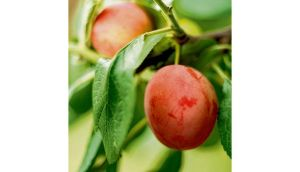 Plums ripening. photographs: richard johnston