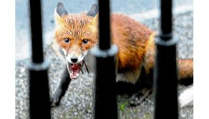 Urban foxes are in our cities to stay. photograph: dave meehan
