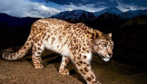 In his latest book, Nadeem Aslam features a snow leopard (pictured) as a 'symbol of a spoiled Eden and the fact that we're not paying attention to these other creatures that we are privileged enough to share the planet with'. Main Photograph: Steve Winter, Getty Images/National Geographic