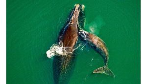 A female right whale gets a playful bump from her new calf. The species is highly endangered, say experts. photograph: getty