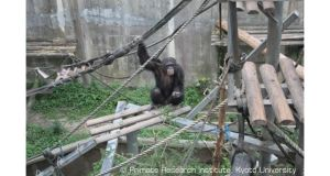 Ayumu the chimpanzee in his enclosure in Kyoto. Photograph: Primate Research Institute
