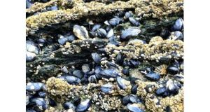 Researchers are developing a natural 'superglue' from the kind of adhesive mussels use to cling to the water's edge. Photograph: Elaine Edwards