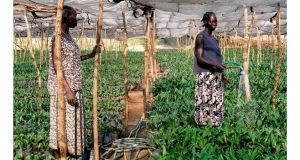 Women water palm seedlings at the 300,000-hectare farm leased by Karuturi Global in Gambella, western Ethiopia.