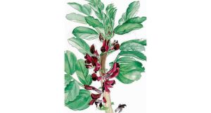 Crimson flowered broad bean, painted by artist Sonia Caldwell