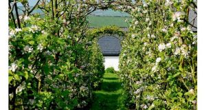 A formal allee of trained apple trees in full bloom in the west Cork garden of gardener Joy Larkcom.