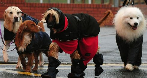 Dogs arrive well wrapped up. Photograph: PA