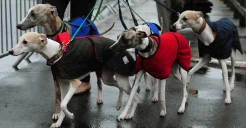 Four well-wrapped Whippets arrive for Crufts 2013. Photograph: PA