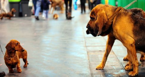 A dachshund looks at bloodhounds during the show. Photograph: PA