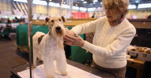 A woman grooms a wire fox terrier dog on the first day of Crufts. The four-day show features over 25,000 dogs, with competitors travelling from 41 countries to take part. Photograph: Getty