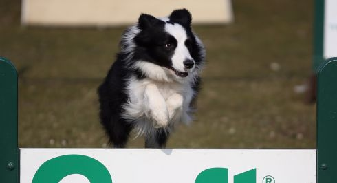 Collie dog Holly competes in the agility section at Crufts. Photograph:  Getty Images)