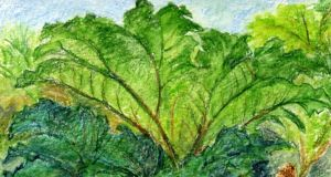 Gunnera: the gargantuan Chilean rhubarb-that-isn't. Illustration: Michael Viney