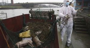 A worker in protective clothing prepares to haul away dead pigs pulled from a river along Zhonglian village of Jinshan district in Shanghai. The number of dead pigs found in the Shanghai river that provides drinking water to the Chinese financial hub has risen to almost 15,000. Photograph: AP