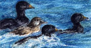 Feathered flotilla: some of Ireland's threatened scoters. Illustration: Michael Viney