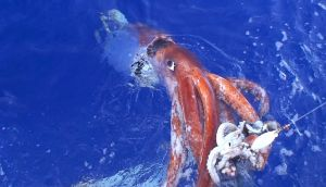 A giant squid or Architeuthis. Photograph:  Tsunemi Kubodera via NUI Galway