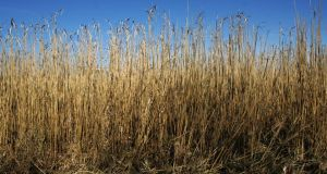 Miscanthus, or elephant grass, is one of a new generation of renewable crops that can be converted into renewable energy by being burned in biomass power stations. Photograph: Frank Miller