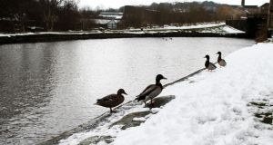 Ducks walk in the snow on the Sowerby Bridge wharf, West Yorkshire as the cold snap continues across the UK. Photograph:  Lynne Cameron/PA Wire