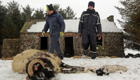 Donald O'Reilly and Keith McQuillan (R) gather a dead sheep and lamb which had been trapped in a snow drift in the Aughafatten area of County Antrim. Photograph: Reuters