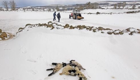 Dead lambs lie in the snow as farmers Donald O'Reilly and Keith McQuillan search for trapped sheep in snow drifts in the Aughafatten area of County Antrim. Photograph: Reuters