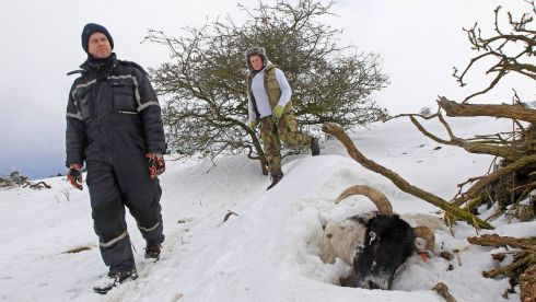 A dead sheep lies trapped in a snowdrift as farmers Keith McQuillan (L) and Ruth Keyes search for other animals in the Aughafatten area of County Antrim. Photograph:  Reuters