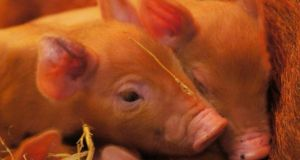 The Tamworth piglets  born over Easter weekend at Belfast Zoo. The zoo reopens on Friday after a closure due to snow.