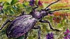 Beloved by Francis: a violet ground beetle. illustration: michael viney Beloved by Francis: a violet ground beetle. illustration: michael viney
