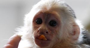 Mally, the pet monkey of Canadian singer Justin Bieber. Photograph: Michaela Rehle/Reuters