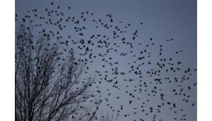 A flock of blackbirds searches for trees to perch on in the town on Hopkinsville, Kentucky, earlier this week. Photograph: Harrison McClary/Reuters