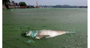 The Environmental Protection Agency has unveiled a new phone app to help people report incidents of environmental pollution. A dead fish (above) floats in water filled with blue-green algae at the East Lake in Wuhan, China.