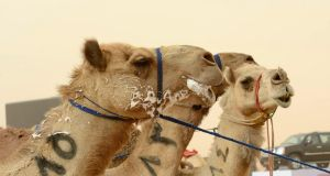 Racing camels take a breather after a race in Saudi Arabia last week. Photograph: Faisal Al Nasser/Reuters