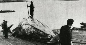 A historic image of the harpooning of whales off the Co Mayo coastline. Some 690 whales were killed between 1908 and 1914.