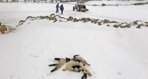 Dead lambs lie in the snow as farmers search for trapped sheep in snow drifts in the Aughafatten area of Co Antrim last month. Photograph: Cathal McNaughton/Reuters