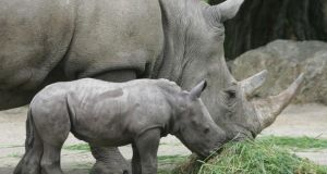 File picture of of female sourthern white rhinos. Photograph: Alan Betson.