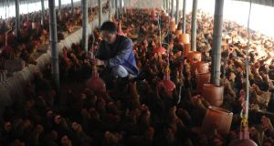 A chicken farm in Changfeng county, Anhui province. Poultry is off the menu in many restaurants in China. Photograph: Reuters