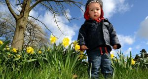 Ciaran Visser enjoying playing in the daffodils in the Botanic Gardens Dublin yesterday. Photograph: David Sleator