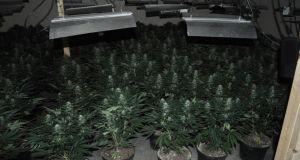 Garda handout photo of a cannabis factory that was uncovered in Tuam, Co Galway. Photograph: Garda Press Office