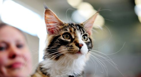 I'm all ears: a Maine Koone kitten watches the goings on at the 23rd Supreme Cat Show in Ballinteer. Photograph: Aidan Crawley/The Irish Times