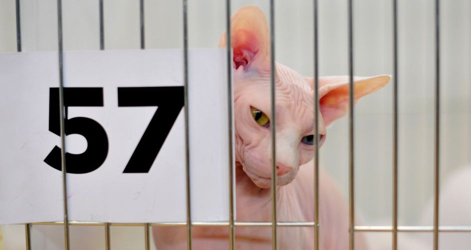 Supreme Cat Show held in Ballinteer