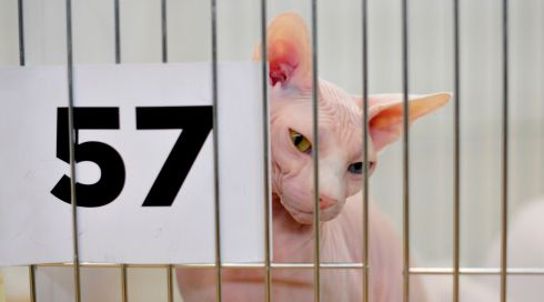 Gina, an Odd Eyed White Sphynx, waits for freedom at the Supreme Cat Show. Photograph: Aidan Crawley/The Irish Times