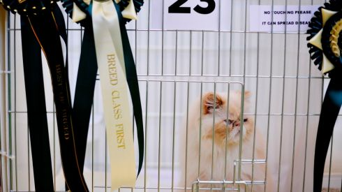 A redoubtable Persian cat in a cage adorned with multiple awards including Best of Breed and Breed Class First at the Supreme Cat Show. Photograph: Aidan Crawley/The Irish Times