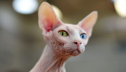 Gina gains her freedom: the Odd Eyed White Sphynx pays close attention at the Supreme Cat Show. Photograph: Aidan Crawley/The Irish Times