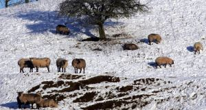 Massive snowdrifts in parts of counties Down and Antrim in late March left sheep stranded in remote areas of Northern Ireland and British and Irish relief helicopters were brought in to airlift feed. Photograph: Eric Luke/The Irish Times