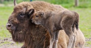 Baby Bison with mother Donna