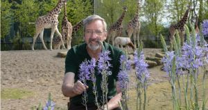 Zootopia: Stephen Butler, the zoo's curator of horticulture, with a camas – and giraffes. Photograph: Dara Mac Dónaill/The Irish Times