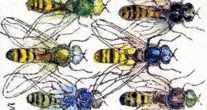 Hoverflies: they come with the gift of bilocation. Illustration: Michael Viney