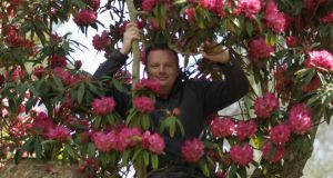 Seamus O'Brien, head gardener of Kilmacurragh surrounded by the flowers of the tree rhododendron, R.arboreum ssp. cinnamomeum, which is in full bloom in the gardens at the moment. Photograph: Richard Johnson