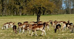 Overbrowsing: we have introduced new species of deer to our native red and naturalised fallow deer, such as the herd in the Phoenix Park, Dublin. Photograph: David Sleator